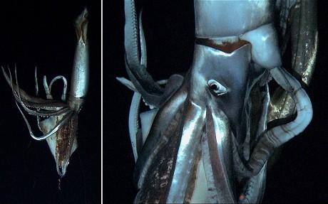 giant-squid_2444573c
